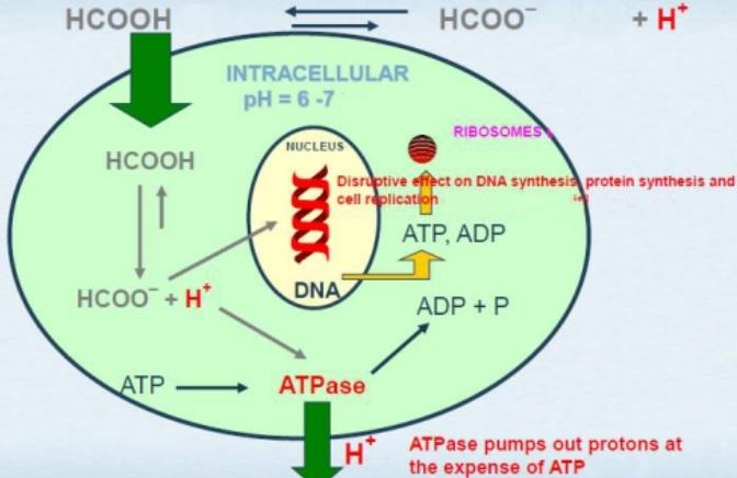 Antibacteria Mechanism