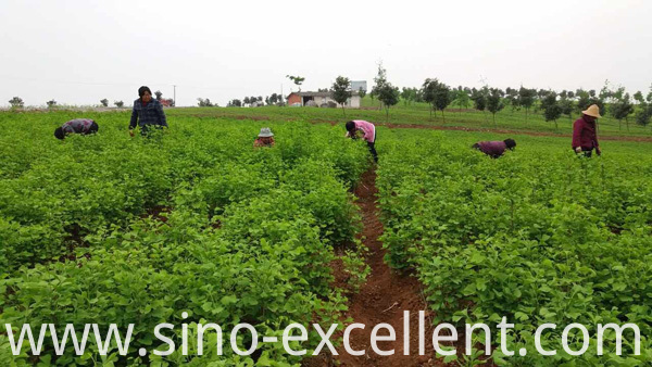 Ginkgo Biloba Plant 2