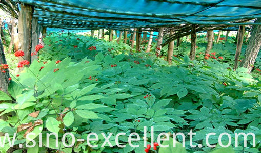 Plant of Ginseng